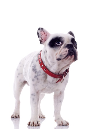 curious french bulldog standing on a white background Stock Photo - 8276079