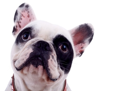francais: head of french bulldog isolated on a white background  Stock Photo