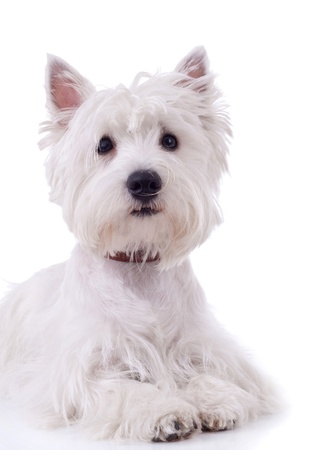 highland: West Highland White Terrier  in front of a white background