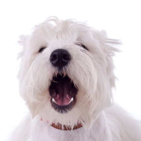 barking West Highland White Terrier  in front of a white background  photo