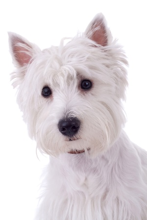 lap dog: West Highland White Terrier  in front of a white background