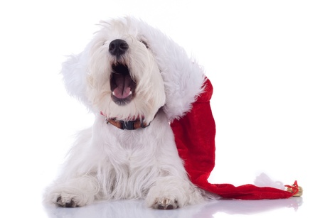 sleeppy westie wearing santa cap yawning on white background photo