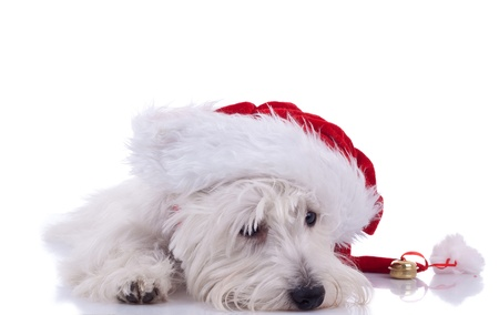 picture of a sleeppy westie wearing santa cap, over white photo