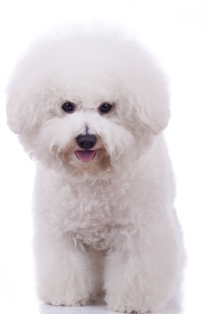 bichon: a purebred bichon frise looking at the camera isolated on white