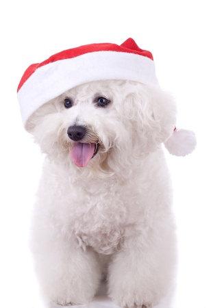 bichon: a bichon frise wears santa hat for christmas, isolated on white
