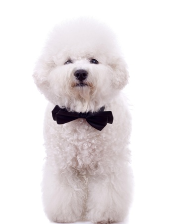 bichon: bichon frise with neck bow over white background