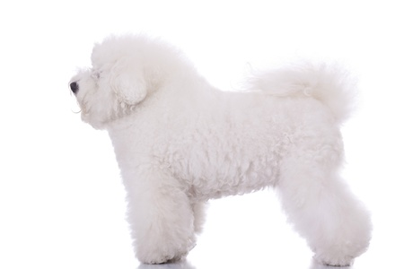bichon: side view of an amazing bichon frise, standing on white background