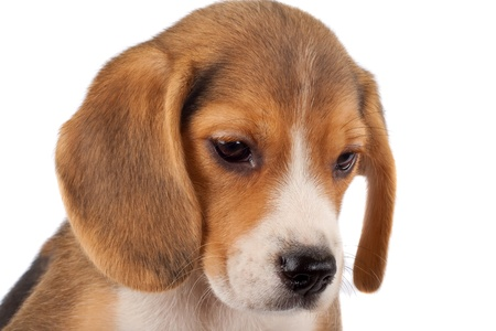 closeup picture of a small beagle puppy over white Stock Photo - 8590170