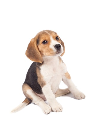 beagle puppy: tired beagle puppy is seatinh on a white background