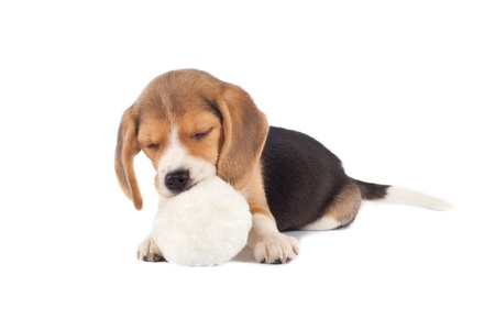 beagle puppy: sleeping small beagle puppy chewing on a fur ball