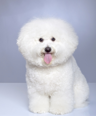 bichon: Bichon Frise puppy on a gray background. Not isolated.