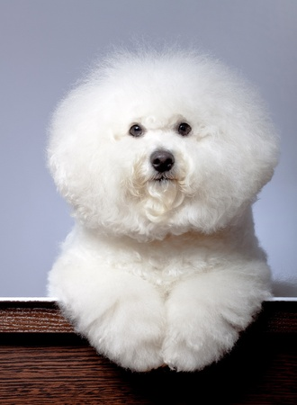 adorable bichon frise sitting in front of a grey background