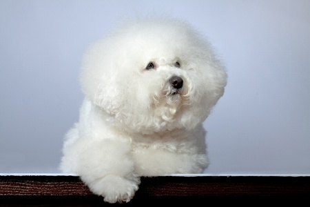 picture of a sad bichon frise on a grey background Stock Photo - 8709760