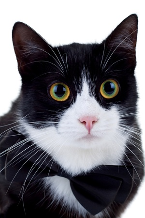 black and white cat wearing a neck bow looking at the camera  Stock Photo - 8709737