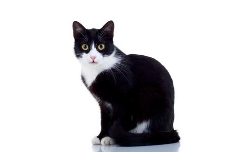 gato negro: Hermoso gato macho blanco y negro sobre blanco Foto de archivo