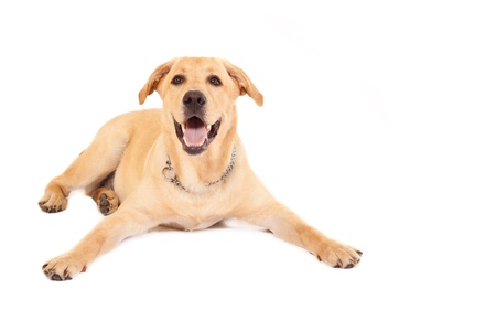 Puppy Labrador retriever cream in front of white background  photo