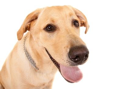 Head shot of yellow labrador on a white background photo