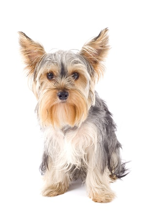 picture of a very cute Yorkshire Terrier in front of a white background  photo
