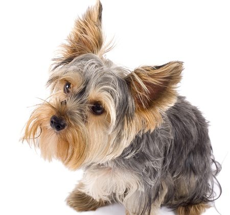 Adorable Yorkshire Terrier dog looking up and isolated on white.  photo