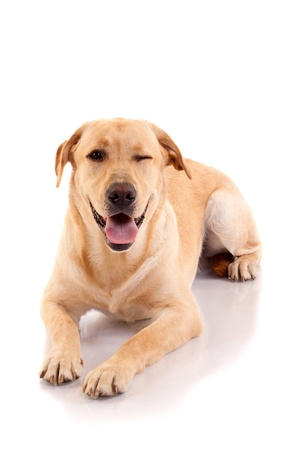 winking: The Labrador that has a funny face seems to wink at someone.