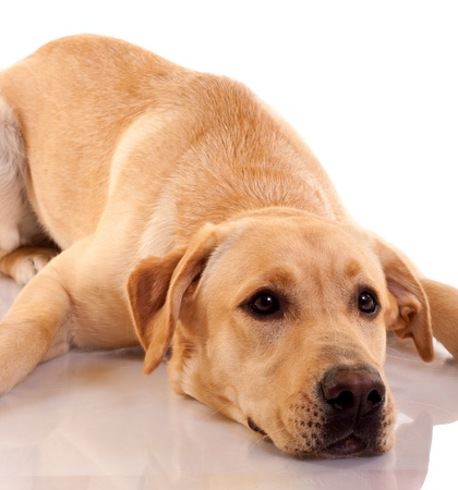 picture of a sad looking  Labrador retriever on white background  photo