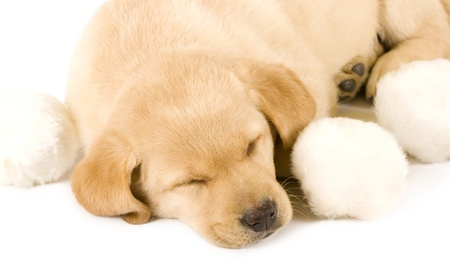 sleepy Puppy Labrador retriever cream on white background photo