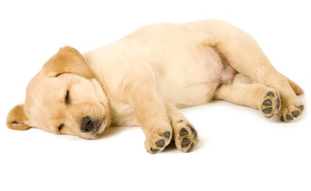 adorable Labrador retriever puppy sleeping on white background  photo