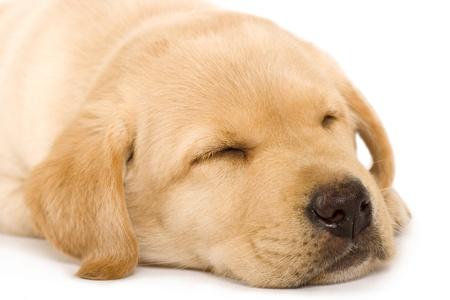 犬歯: 眠い子犬ラブラドル ・ レトリーバー犬白い背景の上にクリーム