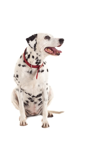 picture of a curious dalmatian looking to a side while sitting  photo