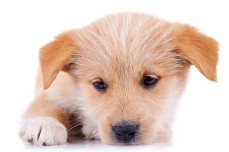 closup of a very cute yellow puppy , looking cuus Stock Photo - 8937207