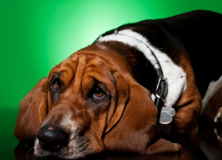 sad looking basset hounds face and nose on green background photo