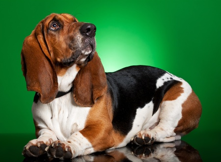 Basset Artesien Normand dog, 11 months old, standing in front of green background photo
