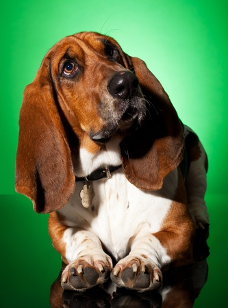 curious basset dog, seated on a green background photo