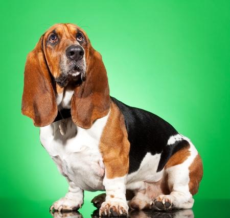 basset: Perfil de un Basset Hound perro buscando aislado en blanco