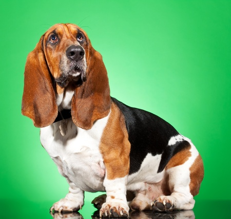 Profile of a Basset Hound dog looking up isolated on white  photo