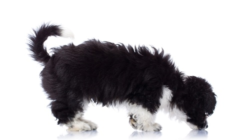 Black and white havanese bichon seated and sniffing ground  photo