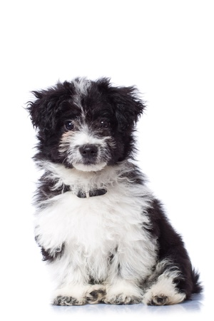 havanais: Adorable black and white havanese bichon sitting, isolated Stock Photo