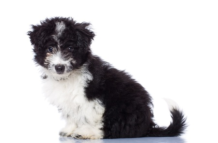 havanais: Adorable havanese bichon sitting, isolated on white