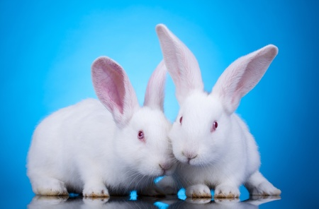 Two cute white baby rabbits. Easter bunnies, on a blue background Stock Photo - 9153626
