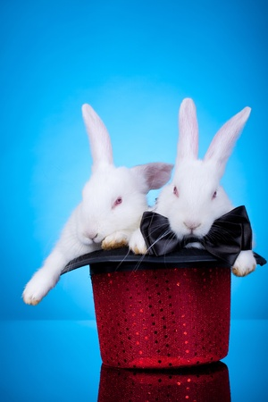 Couple cute white baby rabbits sitting in a red hat, on a blue background photo