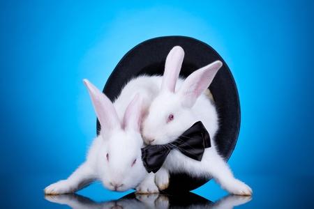 animalitos tiernos: dos conejos blancos lindos sacar a s� mismos de un sombrero, azul de fondo Foto de archivo