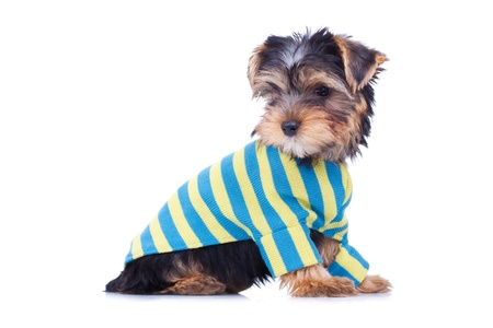 Adorable yorkshire puppy, looking at something, dressed, isolated on white photo