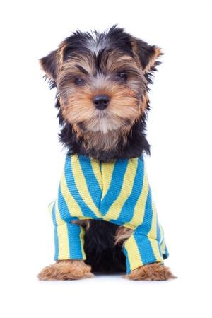 perros vestidos: Sentados perrito yorkshire, lindo vestido, aislados en blanco