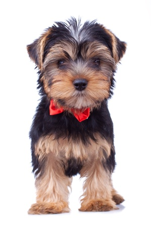 terriers: Standing yorkshire puppy with red bow, isolated Stock Photo