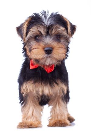 ヨークシャー子犬分離した赤の弓と立っています。