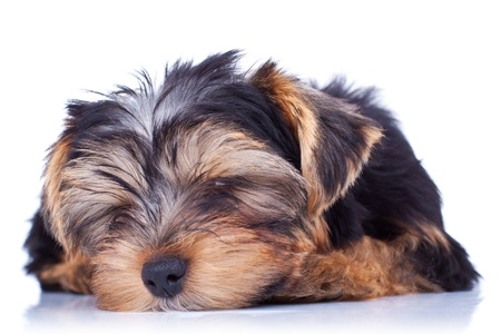 Sleeping yorkshire puppy, isolated on white background photo