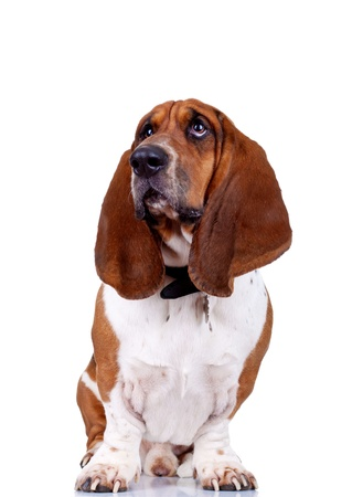 basset hound sitting against high key background and looking off to the side  photo
