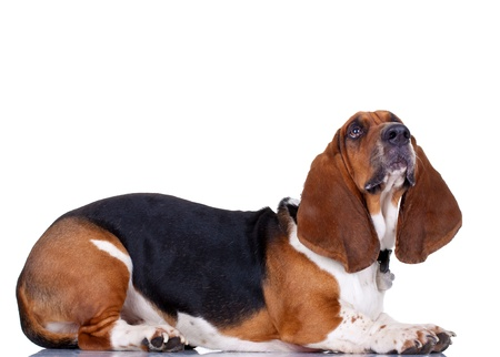 Basset hound, lying in front of white background - side view photo