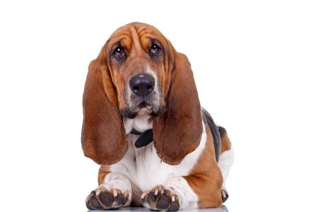 Basset Hound dog guardando alla telecamera e isolata su bianco e