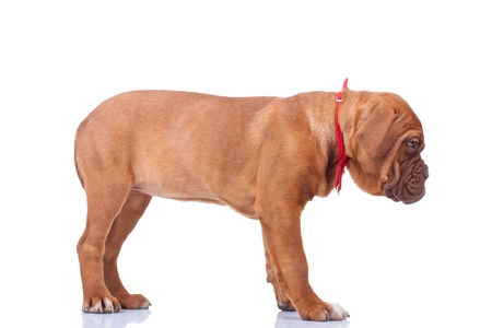 side view of a standing Dogue de Bordeaux puppy (French mastiff). Isolated on white background  photo